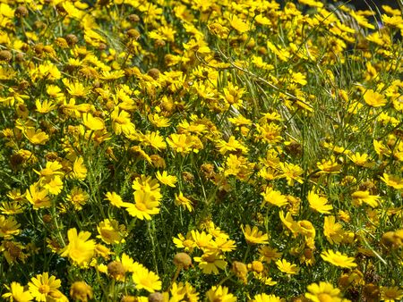 Meadow with yellow colored flowers (glebionis coronaria) as a background or texture. Yellow daisies blooming in spring