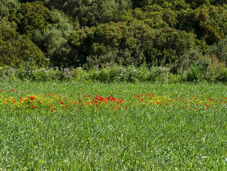 Green meadow with row of yellow flowers and bright red poppies. Background image. Stock fotó