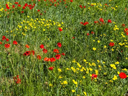 Green meadow with yellow flowers and bright red poppies. Wildflower background image.
