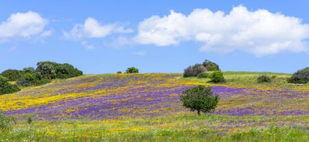 Panorama of a field blooming in spring with yellow daisies and purple flowers against the background of clear blue sky. Banner image.