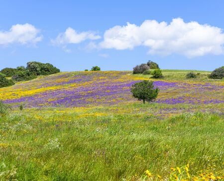 Panorama of a field blooming in spring with yellow daisies and purple flowers against the background of clear blue sky