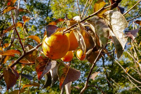 Persimmon tree with ripe fruit illuminated by the light of the autumn morning sun. Kaki plum tree.
