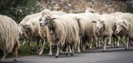 The Rosset sheep of autochthonous breed Stock fotó