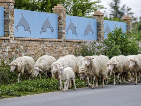 Sardinian sheep of autochthonous breed in the Ogliastra region, Sardinia, Italy, Europe