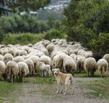 A shepherd dog with sardinian sheep of autochthonous breed in the Ogliastra region, Sardinia, Italy, Europe
