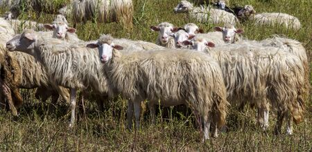 The Rosset sheep of autochthonous breed - Sardinia