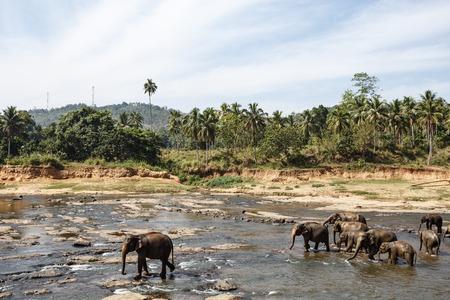 Elephants bathing in the river. National park. Pinnawala Elephant Orphanage. Sri Lanka.