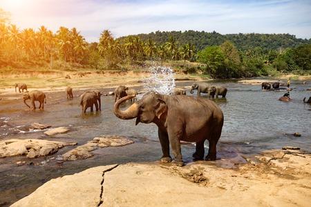 Elefantes bañándose en el río. Parque Nacional. Orfanato de elefantes Pinnawala. Sri Lanka. Foto de archivo