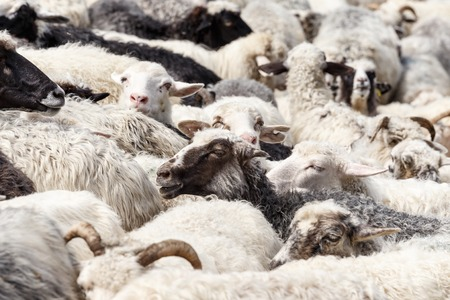 sheepfold: Sheep. Sheep in nature. Many flock of sheep in the mountains. Sheep farming on meadow. Stock Photo