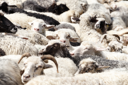 sheepfold: Sheeps. Sheep in nature. Many flock of sheep in the mountains. Sheep farming on meadow.
