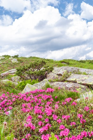 beautiful spring pink rhododendrons flower in mountain