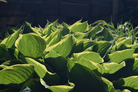 Hostas in morning sun