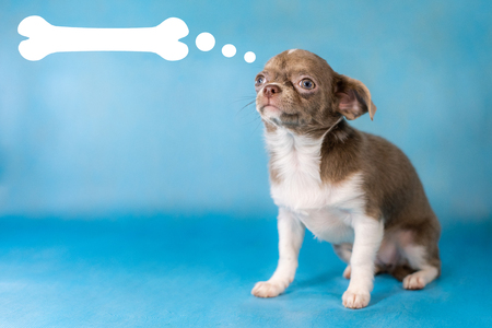 Little Cute Chihuahua Dog breed. Thinks about food concept. Blue background