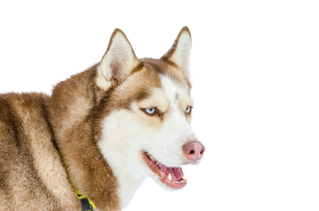 Sled Dog Siberian Husky Breed With Blue Eyes Looks To Right Stock