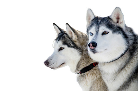 Two Siberian Husky dogs looks around. Husky dogs has  black and white coat color. Isolated background