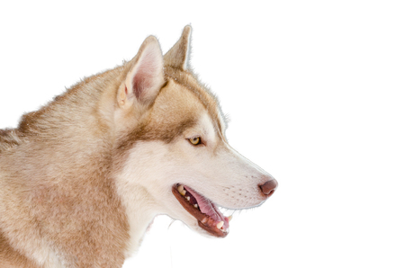 Sled dog Siberian Husky breed looks to right. Husky dog has beige and white fur color. Isolated white background