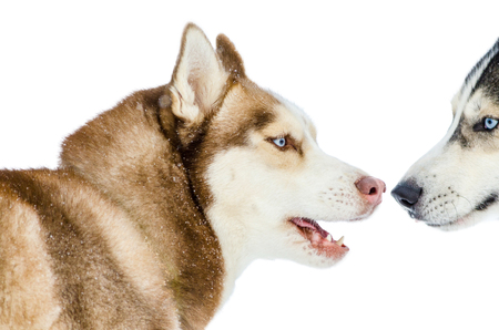 Two sled dogs of Siberian Husky breed with blue eyes sniff each other. Husky dog has brown, black and white fur color. Isolated white background