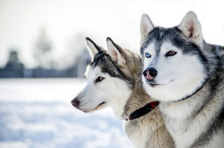 Two Siberian Husky dogs looks around. Husky dogs has black and white coat color. Snowy white background. Close up