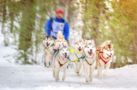 Sled dog racing. Team consists of man musher and seven Siberian Husky breed dogs. Pine forest background. Motion blur effect. Stok Fotoğraf
