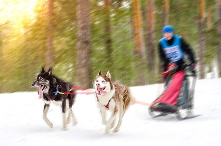 Sled dog racing. Team consists of man musher and two Siberian Husky breed dogs. Pine forest background. Motion blur effect. Stok Fotoğraf