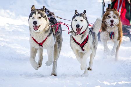 Dog sledding. Siberian Husky sled dog team in harness. Husky dogs has a black and white coat color. Snowy background 版權商用圖片