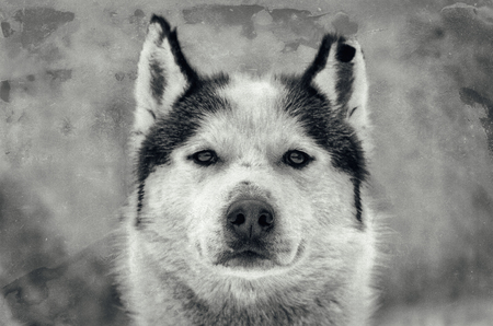 Siberian Husky dog portrait with chewed ear. Close up Husky breed face. Old photo style effect.