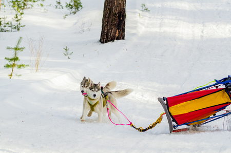Two Siberian Husky sled dogs in harness rushing in the forest. Husky breed sled dogs race competition. Winter track.