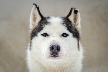 One Siberian Husky dog portrait with chewed ear. Close up Husky breed face. Husky dog has black and white fur color.