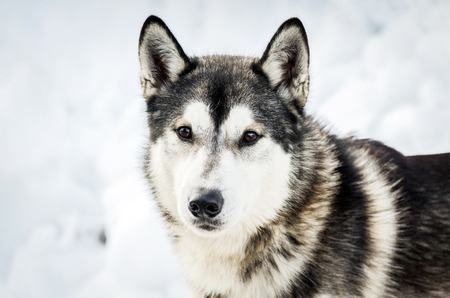 One Siberian Husky dog looks around. Close up Husky breed portrait. Husky dog has black and white fur color. Snow white background.