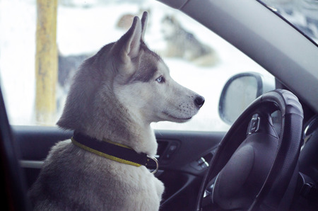 One Siberian Husky dog is driving a car. Funny close up Husky breed portrait in automobile behind the wheel.