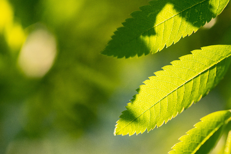 Rowan branch with green leaves and copy space. Sorbus aucuparia or mountain-ashes branch. Sunny clear weather Stock Photo