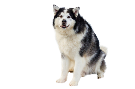 Big Malamute dog before the race in full-body shot. Malamute dog has black and white fur color. Isolated white background for design.