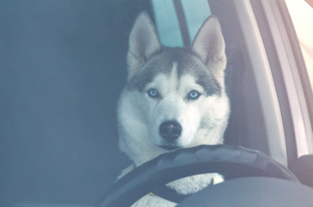 Funny Siberian Husky dog is driving a car. Close up Husky breed portrait in automobile behind the wheel.