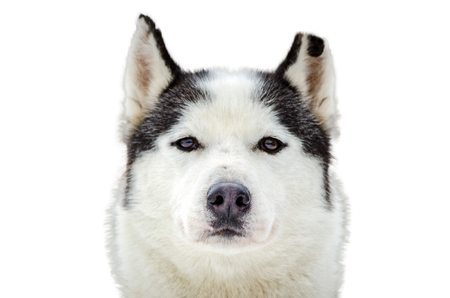 One Siberian Husky dog portrait with chewed ear. Close up Husky breed face. Husky dog has black and white fur color. Isolated white background. Banque d'images