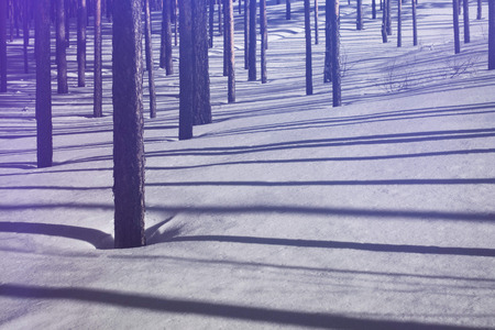 Winter forest. Pure pine forest in sunny weather. Purple sunlight and deep shadows. Beauty winter fairytale. Banco de Imagens