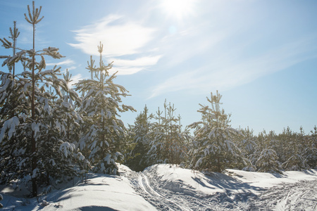 Beautiful coniferous forest in winter. Pure pine forest without garbage and people in sunny weather. Get lost in winter fairytale