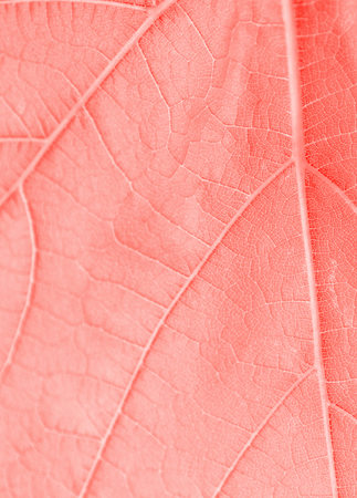 Grape leaf, living coral toned, macro. Close up texture with copy space for design. 版權商用圖片