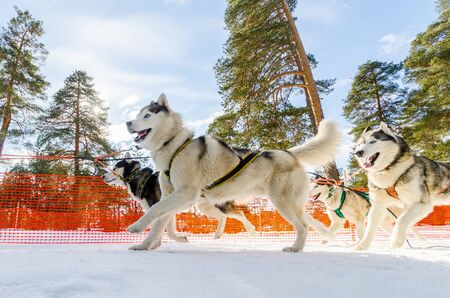 Sled dogs race competition. Siberian husky dogs in harness. Sleigh championship challenge in cold winter russia forest.
