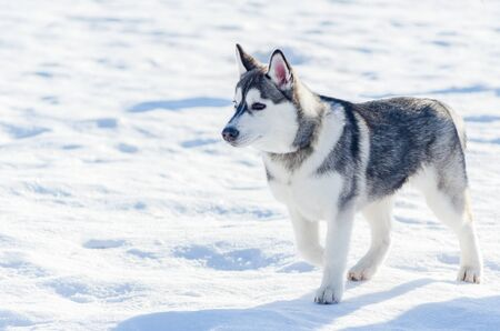 Little siberian husky dog outdoor walking, snow background. Sled dogs race training in cold snow weather. Strong, cute and fast purebred dog for teamwork with sleigh.