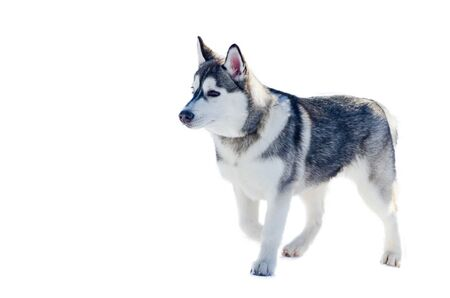 Little siberian husky dog, isolated. Sled dogs race training in cold snow weather. Strong, cute and fast purebred dog for teamwork with sleigh.