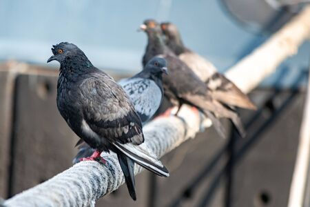 Pigeons sitting on ship hawser. Thick rope tied to mooring. Pigeons in city port Stok Fotoğraf