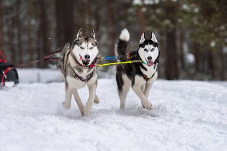 Sled dog racing. Husky sled dogs team in harness run and pull dog driver. Winter sport championship competition. Stock Photo