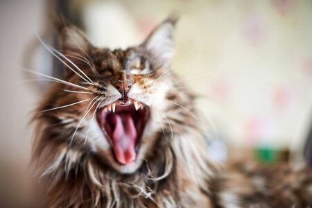 Maine coon cat, close up. Funny, cute cat with marble fur color. Largest domesticated breeds of felines. Soft focus. Stock Photo