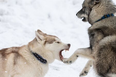Husky dogs bark, bite and play in snow. Funny sled dogs winter play. Aggressive siberian husky grin.