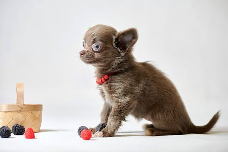 Cute chihuahua dog puppy. Little funny dog. Preparing for a dog show. Imagens