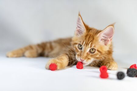 Red Maine Coon kitten. Cute, largest and beautiful cat breed. White background