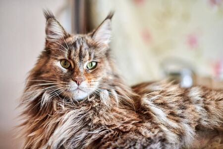 Maine coon cat, close up. Funny, cute cat with marble fur color. Largest domesticated breeds of felines. Soft focus.