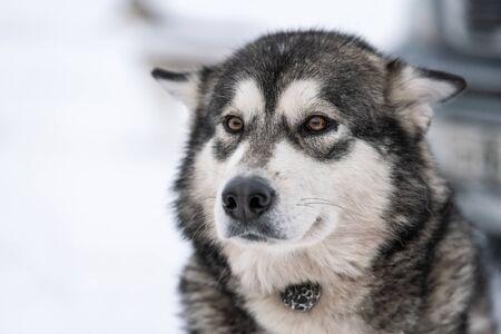 Husky dog portrait, winter snowy background. Funny pet on walking before sled dog training. Standard-Bild