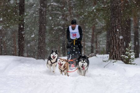 Sled dog racing. Husky sled dogs team pull a sled with dog driver. Winter competition. Stock Photo