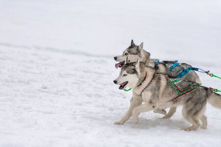Sled dog racing. Husky sled dogs team in harness run and pull dog driver. Winter sport championship competition. Standard-Bild